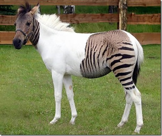 a96986_a607_15-zebroid
