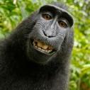 Majmunisanje sa autorskim pravima